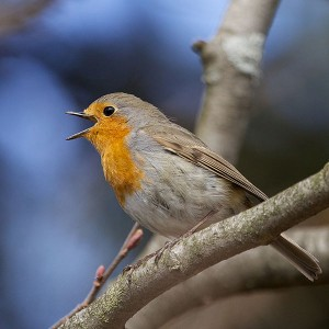 600px-erithacus_rubecula_-norway_-singing-8